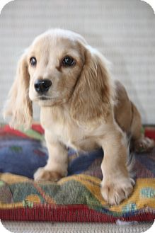 Cocker Spaniel Mix Puppy for adoption in Prince William County, Virginia - cooper