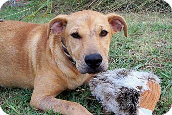 Black Mouth Cur/Labrador Retriever Mix Dog for adoption in Leland, Mississippi - ARLO
