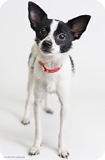 Rat Terrier/Papillon Mix Dog for adoption in Winters, California - Rosco