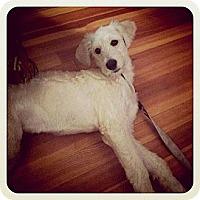 Adopt A Pet :: SC - Trixie - Boca Raton, FL
