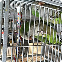 Parakeet - Quaker for adoption in Punta Gorda, Florida - Paco & Maxine