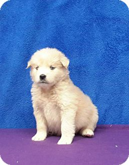 Husky Mix Puppy for adoption in Baltimore, Maryland - Arctic Snow