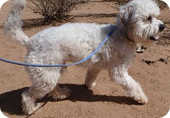 Poodle (Miniature) Mix Dog for adoption in Las Cruces, New Mexico - Carlton