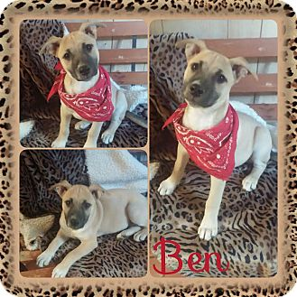 Mountain Cur Mix Puppy for adoption in East Hartford, Connecticut - Ben in CT