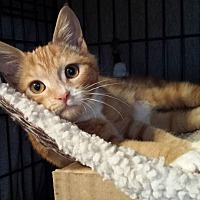 Domestic Shorthair Cat for adoption in Clarkson, Kentucky - Wee Monkee