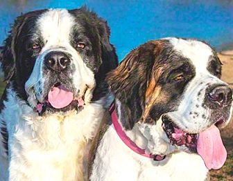 St. Bernard Dog for adoption in Glendale, Arizona - FOSTERs NEEDED