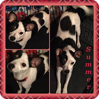 Chihuahua Mix Dog for adoption in East Hartford, Connecticut - Summer meet me 11/6
