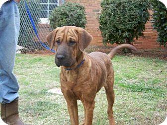 Shar Pei/Hound (Unknown Type) Mix Dog for adoption in Rockville, Maryland - Gunther
