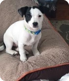 Jack Russell Terrier/Spaniel (Unknown Type) Mix Puppy for adoption in Encino, California - Oreo - Courtesy Post