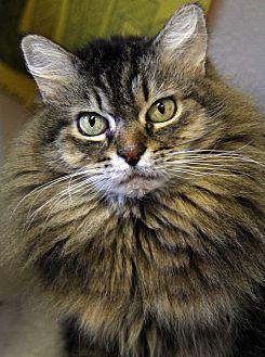 Domestic Mediumhair Cat for adoption in Portland, Oregon - Midas