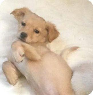 Spaniel (Unknown Type)/Pomeranian Mix Puppy for adoption in Mesa, Arizona - MILO - 3 MONTH SPANIEL POM