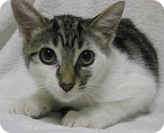 Domestic Mediumhair Kitten for adoption in Gary, Indiana - Martin