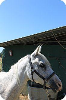 Arabian Mix for adoption in Santa R0sa, California - Sophia