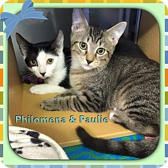 Domestic Shorthair Kitten for adoption in Atco, New Jersey - Paulie