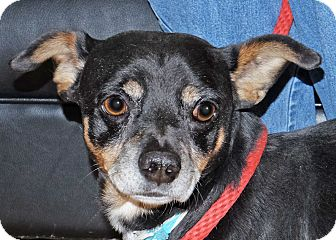 Dachshund Mix Dog for adoption in Spokane, Washington - Bailey