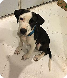 Terrier (Unknown Type, Medium)/Dalmatian Mix Puppy for adoption in Berkley, Michigan - Xena