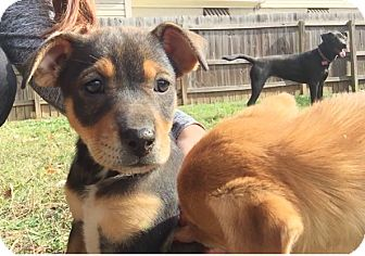 Beagle/Pug Mix Puppy for adoption in HAGGERSTOWN, Maryland - TAFFY