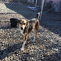 Retriever (Unknown Type) Mix Dog for adoption in Albemarle, North Carolina - Capone