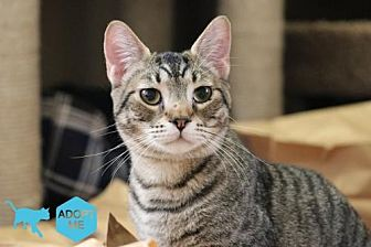Domestic Shorthair Cat for adoption in Bakersfield, California - Alfred