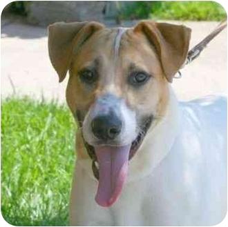 Labrador Retriever/Pointer Mix Dog for adoption in Berkeley, California - Echo