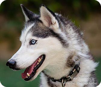 Siberian Husky Dog for adoption in Westminster, California - Kaiba