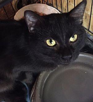 Siamese Cat for adoption in Cameron, North Carolina - Warrior