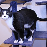 Domestic Mediumhair Cat for adoption in Lumberton, North Carolina - Tripper