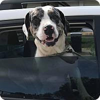 Adopt A Pet :: DUTCHESS - Cadiz, OH