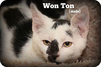 Domestic Shorthair Kitten for adoption in Glen Mills, Pennsylvania - Won Ton