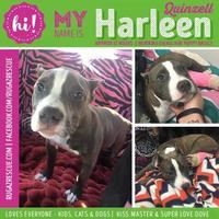 Adopt A Pet :: Harleen Quinzel - New Port Richey, FL