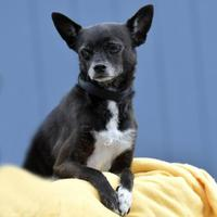 Adopt A Pet :: Carter - Evans, CO