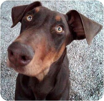 Doberman Pinscher Puppy for adoption in Las Vegas, Nevada - Little Stevie