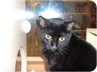 Domestic Shorthair Cat for adoption in No.Charleston, South Carolina - MILO