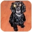 Photo 1 - Cocker Spaniel Dog for adoption in Mahwah, New Jersey - Snickers
