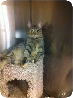 Domestic Shorthair Cat for adoption in Pittstown, New Jersey - Paris