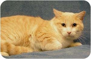 Domestic Shorthair Cat for adoption in Sacramento, California - Shiloh