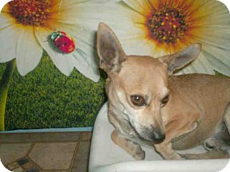 Chihuahua Mix Dog for adoption in Las Vegas, Nevada - Mack