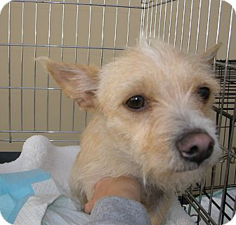 Terrier (Unknown Type, Small) Mix Dog for adoption in Las Vegas, Nevada - Abbigail