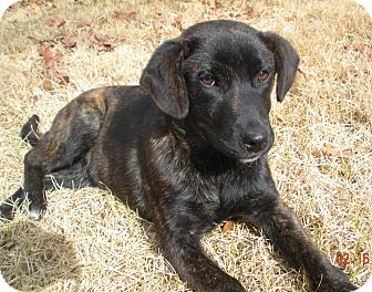 Labrador Retriever/Plott Hound Mix Puppy for adoption in Glastonbury, Connecticut - Jade