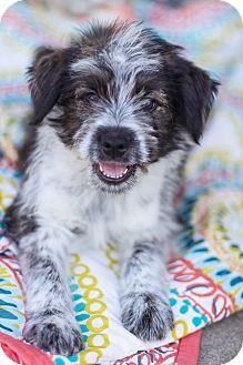 Irish Terrier Mix Puppy for adoption in Auburn, California - James Dean