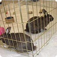 Adopt A Pet :: Alvin and Simon - Maple Shade, NJ
