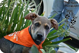 Pit Bull Terrier Mix Puppy for adoption in Anza, California - Baby Craig