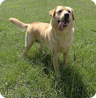Labrador Retriever Dog for adoption in Manhasset, New York - Riley
