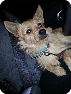 Cairn Terrier Mix Dog for adoption in Arlington Heights, Illinois - OZ