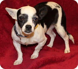 Chihuahua Mix Dog for adoption in Va Beach, Virginia - Kristan