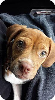 Boston Terrier/Beagle Mix Puppy for adoption in Sunset Hills, Missouri - Copper