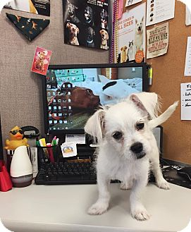 Terrier (Unknown Type, Small) Mix Puppy for adoption in Wilmington, Delaware - Biscuit