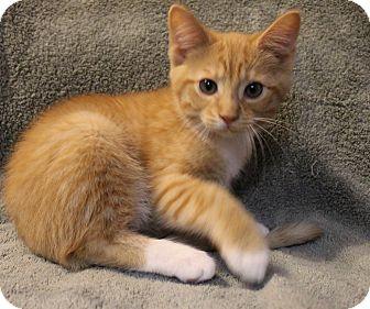 Domestic Shorthair Kitten for adoption in Greensboro, North Carolina - Toby