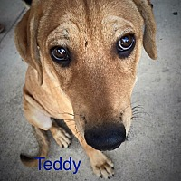 Adopt A Pet :: Teddy Bear - Dallas, TX