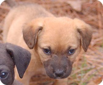 Shepherd (Unknown Type)/Labrador Retriever Mix Puppy for adoption in Hammonton, New Jersey - Jade